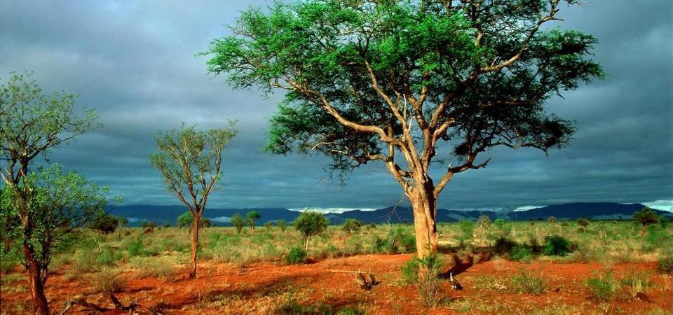 kruger-national-park-tree