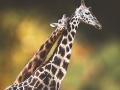 thumbs_giraffes