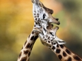 thumbs_giraffes1square
