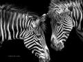 thumbs_zebras1