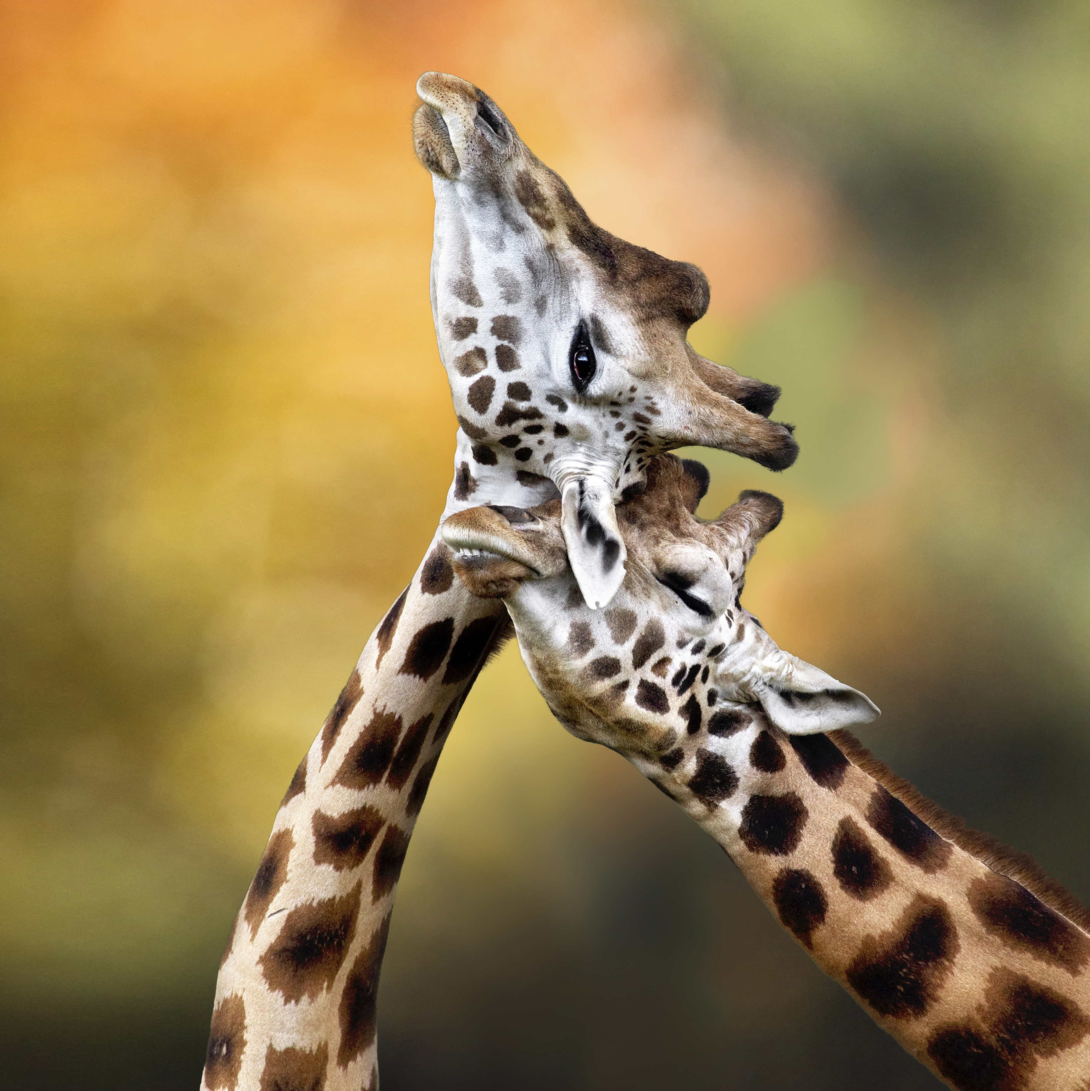 giraffes1square