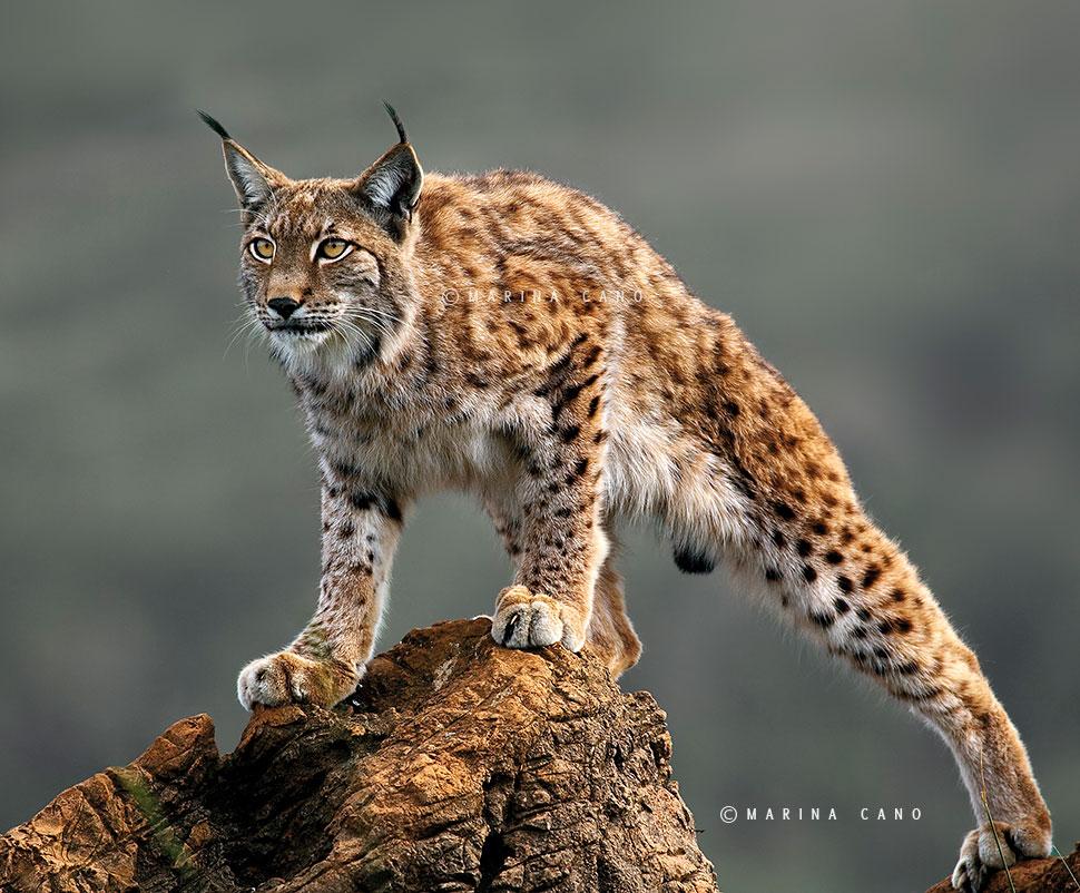 lynx forest jungle animal - photo #33